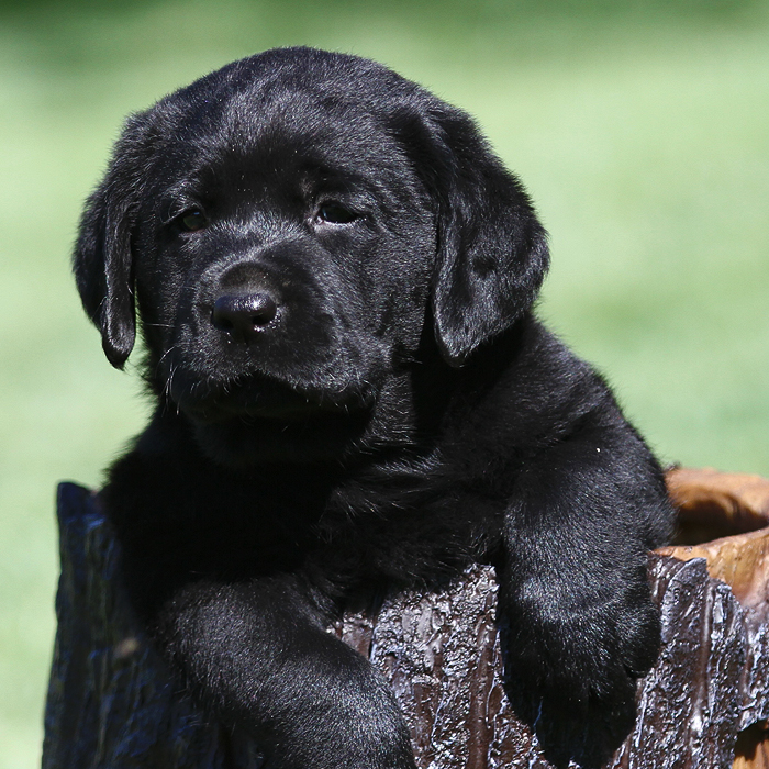 Labradors California Puppies Breeder English Lab Fox Red | Country Labs