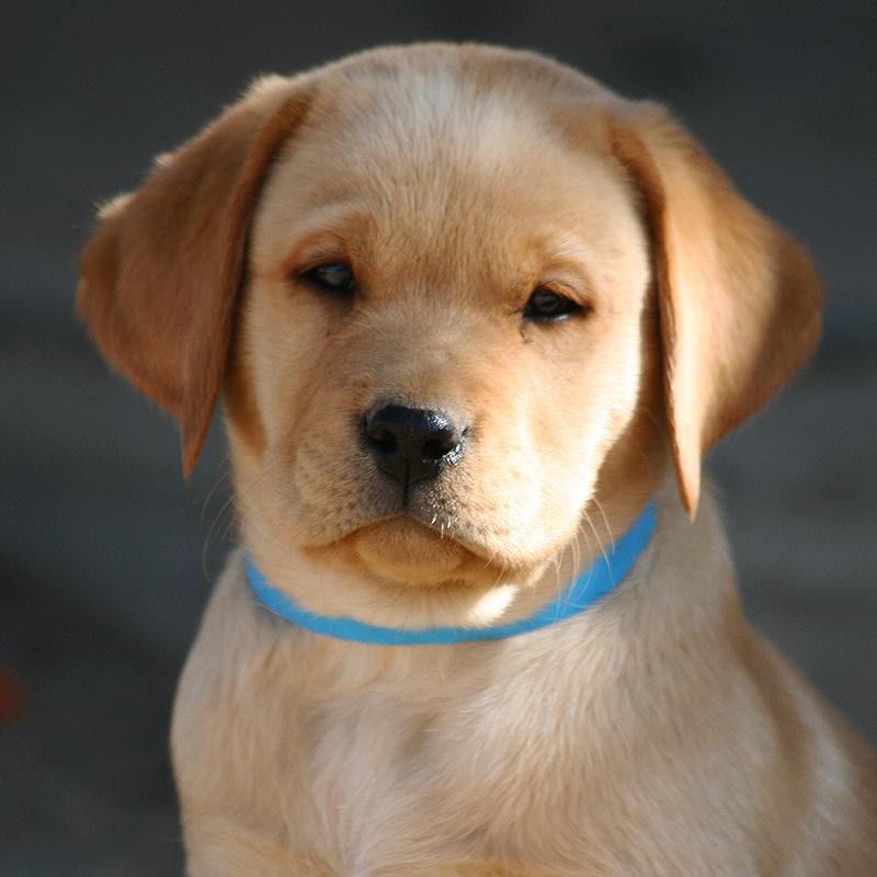 Labrador Puppies Country Labs